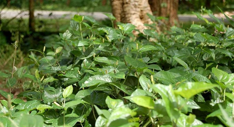 Leaves of Pippali for treatment