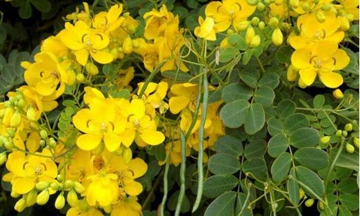 Was ist Cassia angustifolia (Senna) und welche Rolle spielt sie im Ayurveda?